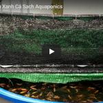 Cá trong hệ Rau Xanh Cá Sạch Aquaponics.