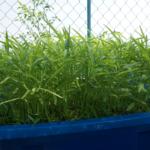 Cách trồng rau muống sạch trên sân thượng