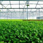 Dự án trồng rau sạch trong nhà kính, nhà lưới