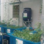 Mô hình trồng rau xanh cá sạch tại nhà