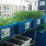 Giải pháp tối ưu để trồng rau sạch Aquaponics tại nhà