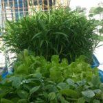 Cách trồng xà lách trong khay rau xanh cá sạch