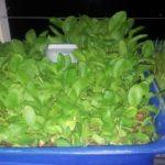 Quy trình trồng rau cải tại nhà