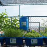 Trồng rau xanh nuôi cá sạch tại sân thượng vô cùng đơn giản