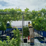 Aquaponics mô hình trồng rau kết hợp nuôi cá.