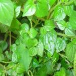Cách trồng rau sạch – rau càng cua tại nhà
