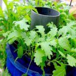 Hướng dẫn cách trồng và chăm sóc cải mèo sạch tại nhà
