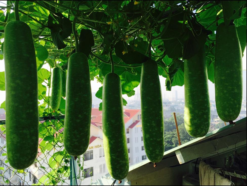 Vườn rau sạch trên sân thượng nên trồng những loại rau nào?