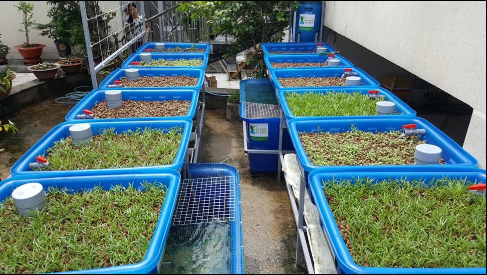Cách gieo trồng và chăm sóc rau trong hệ rau xanh cá sạch Aquaponics