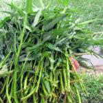 Nguy cơ giun sán từ các loại rau trồng nơi ô nhiễm hoặc phun thuốc