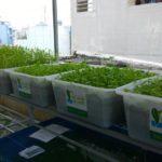 Công nghệ trồng rau Aquaponics tại nhà