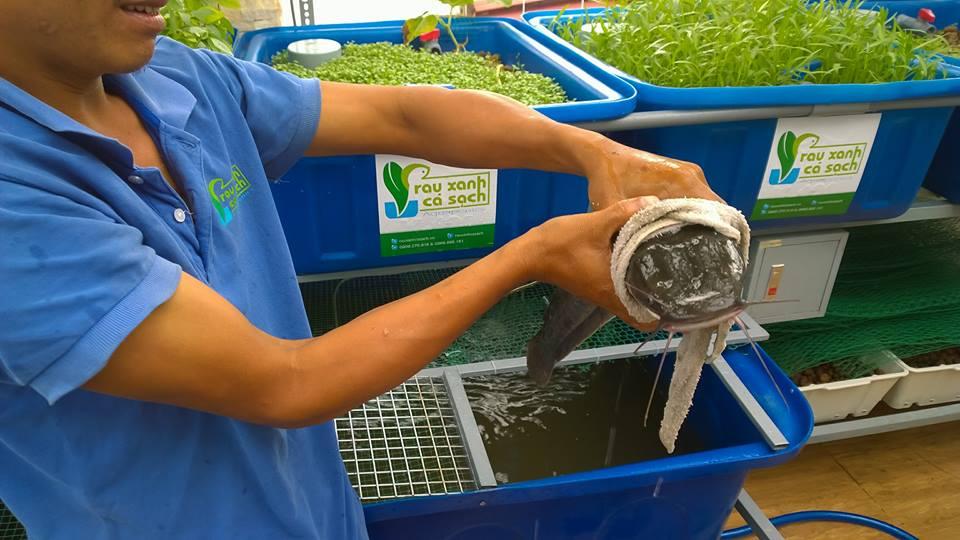 Cá sạch được nuôi trong hệ thống vườn rau sạch Aquaponics