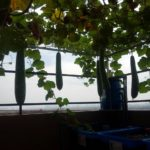 Giàn bầu sai quả trên sân thượng của Rau xanh cá sạch