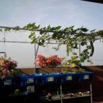 Hướng dẫn cách trồng bầu của hệ Rau xanh cá sạch Aquaponics