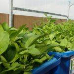 Mách bạn cách trồng và cách chăm sóc rau hữu cơ tại nhà