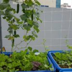 Phương án trồng rau sạch cho nhà phố quá dễ dàng