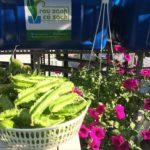 Rau củ quả hữu cơ Aquaponics phát triển tươi xanh tự nhiên