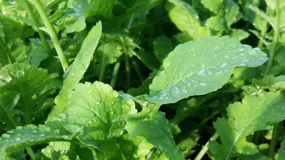 Tiện ích của giàn rau xanh cá sạch Aquaponics mang lại2