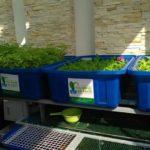 Trồng rau nuôi cá Aquaponics phủ xanh sân thượng