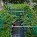 Vườn rau sạch và giàn leo tươi xanh của hệ thống Aquaponics tại nhà