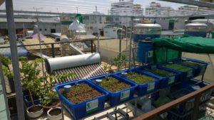 Vườn rau xanh cá sạch Aquaponics trên sân thượng chưa đầy 10m2