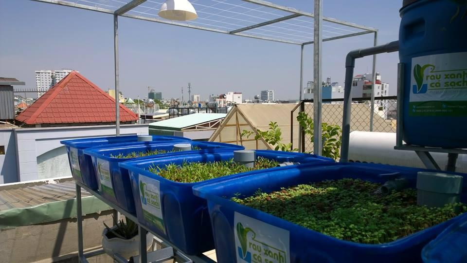 Vườn rau xanh cá sạch Aquaponics trên sân thượng chưa đầy 10m23