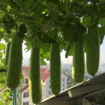Những ngày nắng tháng 5 nên trồng những loại rau gì?