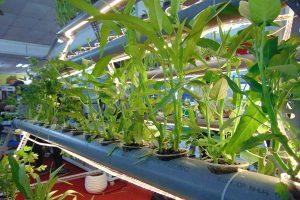 Các bước trồng rau thủy canh tại nhà2