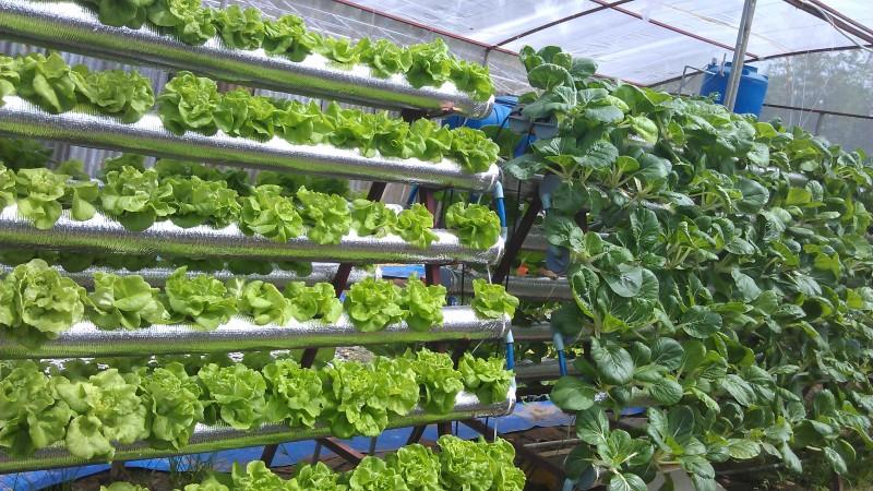 Phương pháp trồng rau thủy canh tại nhà1
