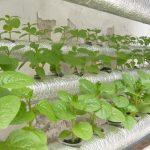Những điều cần biết về phương pháp trồng rau thủy canh tại nhà