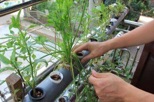 Phương pháp trồng rau thủy canh tại nhà5