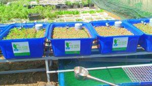 Tìm hiểu về hệ trồng rau nuôi cá Aquaponics không tốn thời gian chăm sóc4