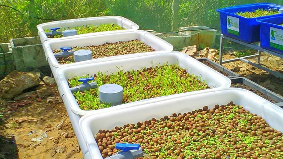 Tìm hiểu về hệ trồng rau nuôi cá Aquaponics không tốn thời gian chăm sóc5