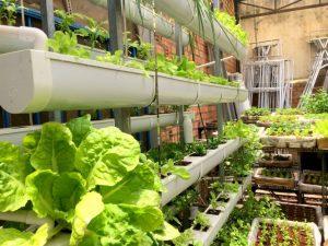 Trồng rau thủy canh tại nhà có rau ăn hay không