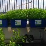 Cấu tạo của hệ thống trồng rau Aquaponics trên sân thượng
