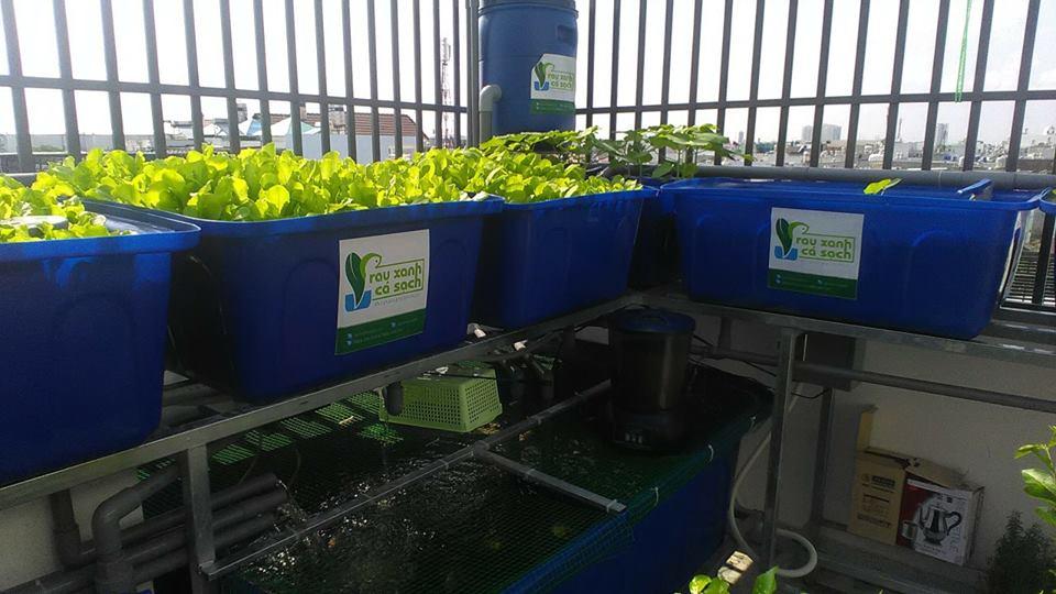 Giới thiệu hệ thống trồng rau Aquaponics trên sân thượng2