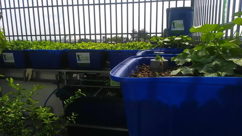 Giới thiệu hệ thống trồng rau Aquaponics trên sân thượng3