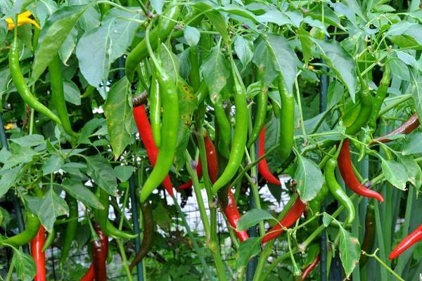 Các loại rau củ nên trồng vào tháng 4 dương lịch-13