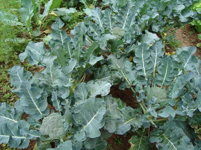 Cách trồng và chăm sóc các loại rau xanh nên trồng vào tháng 1-13