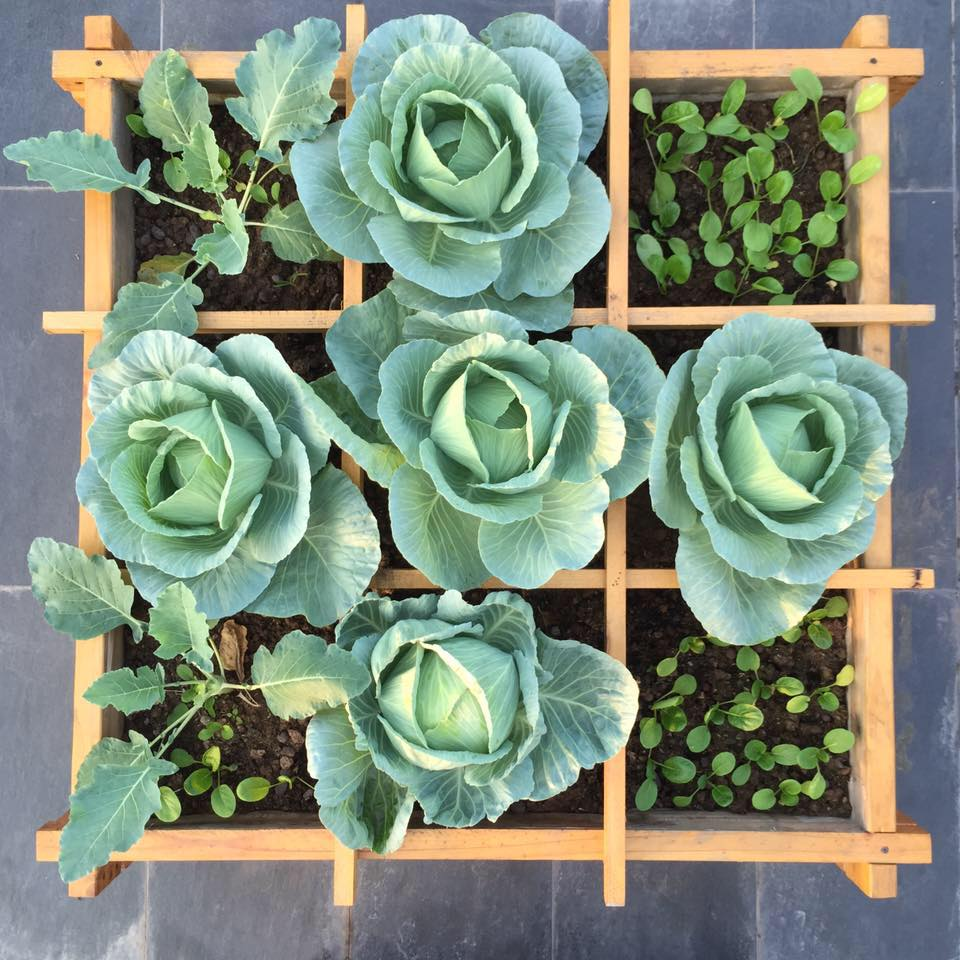 Cách trồng và chăm sóc các loại rau xanh nên trồng vào tháng 1-6