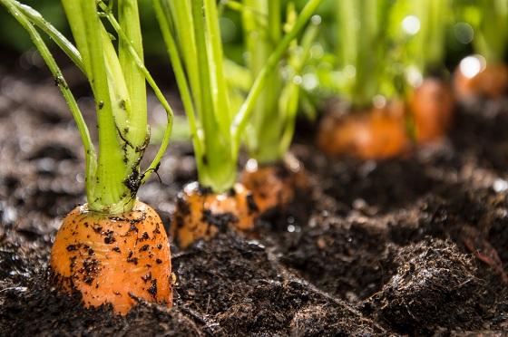Cách trồng và chăm sóc các loại rau xanh nên trồng vào tháng 1-8