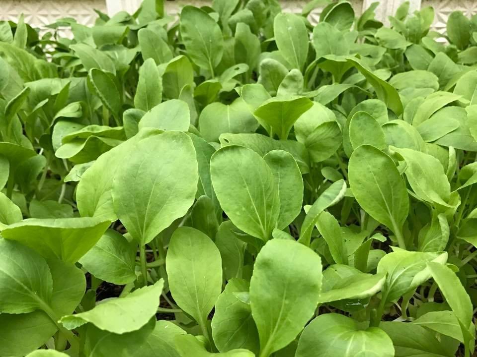 Tháng 2 nên trồng rau gì và chăm sóc như thế nào-13