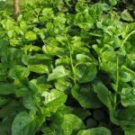 Tháng 2 nên trồng rau gì và chăm sóc như thế nào?