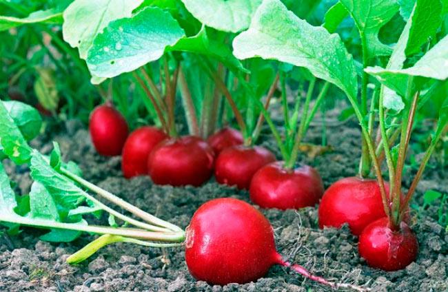 Trồng củ cải đỏ
