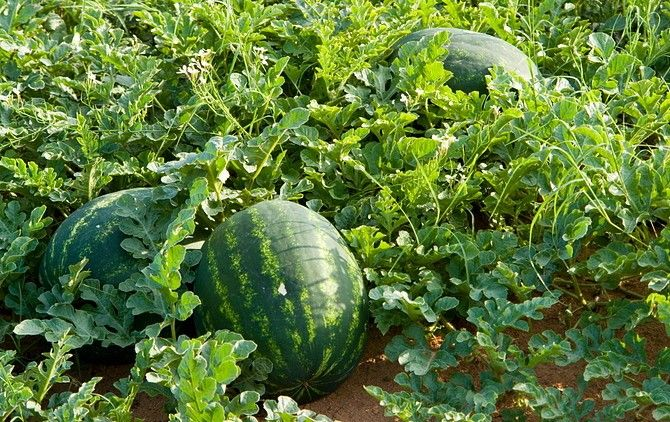 Những loại rau thích hợp trồng vào tháng 12-17