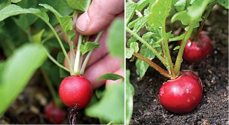 Những loại rau thích hợp trồng vào tháng 12-3