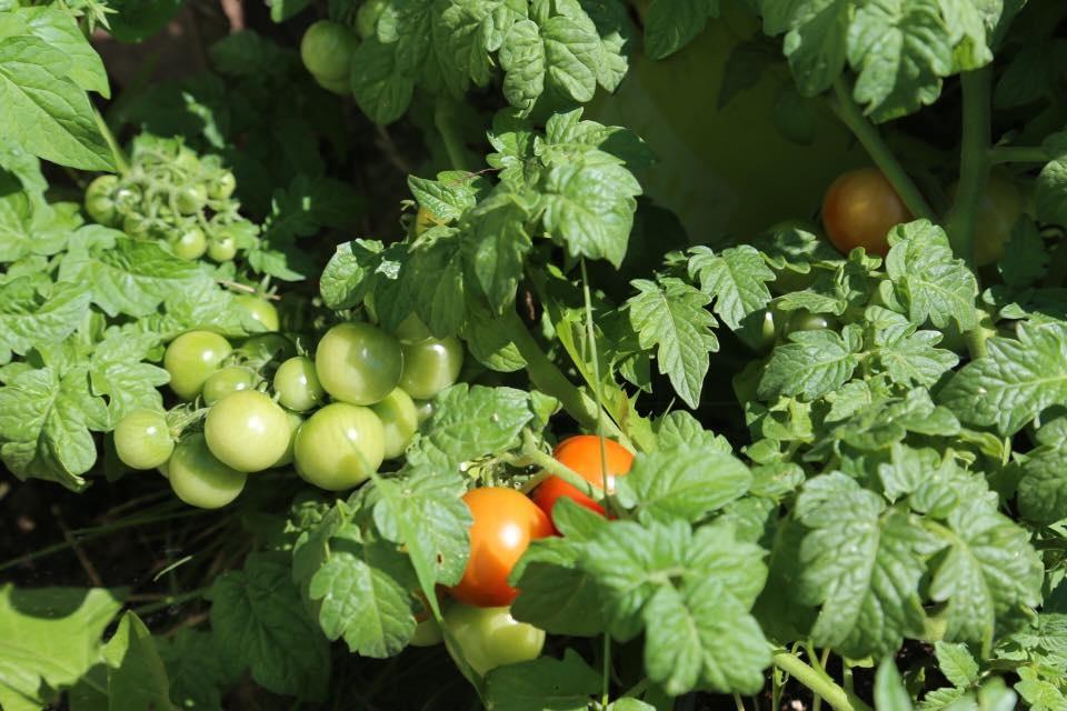 Những loại rau thích hợp trồng vào tháng 12-6