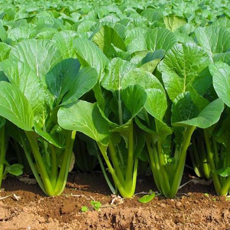 Tháng 11 nên trồng các loại rau họ cải-10