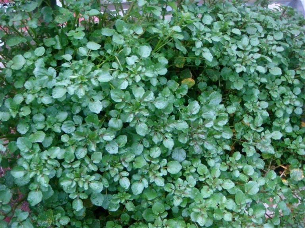 Tháng 11 nên trồng các loại rau họ cải-11