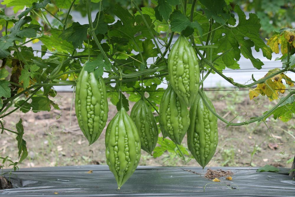 Tháng 6,7,8 nên trồng rau gì-1